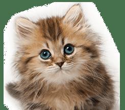 Cat & Kitten Insurance