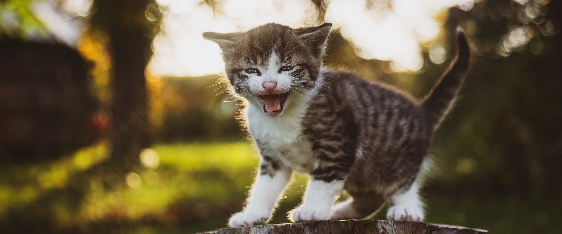 Pets Insured - Quotes cat and kitten insurance